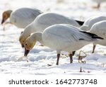 Migrating Snow Geese Eating...