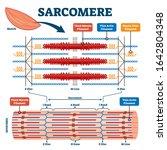 sarcomere muscular biology... | Shutterstock .eps vector #1642804348
