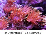 Red Sea Anemones On The Rocks
