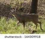 Large Buck Walking In Grass
