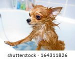Funny Wet Chihuahua Dog In...