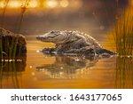 Mugger crocodile  crocodylus...