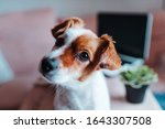 Cute Jack Russell Dog Working...