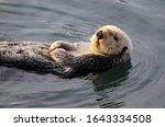 Sea Otter  Enhydra Lutris ...