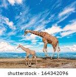 Family Of Giraffes Goes...