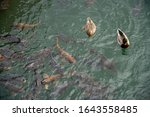 Ducks And Coy Fish Swimming In...