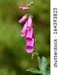 Foxglove  Digitalis Purpurea