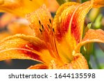 Lilies Lilium Lily   Flowers...