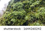 Close Up Of Cyan Lichen And...