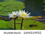 Blooming Water Lily Flowers ...