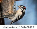Downy Woodpecker Eating At Bir...