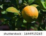 Lemon With Leaves On A Tree