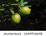 Two Lemons With Leaves On A Tree