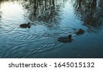 Ducks Swimming On A Canal In...