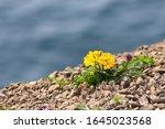 Blooming Yellow Spring Flower...