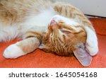 Small photo of Little red ginger kitten sleeping. Syoma cat sleeping. Sleep kitten