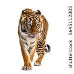 Tiger prowling  big cat ...