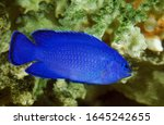Blue Damselfish Or Blue Devil...