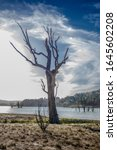 Small photo of Denuded tree by a water body
