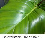Small photo of Modern ornamental plants in front of the house, minimal creative home decor concepts, Philodendron Rugosum Aberrant Form and Vanilla Planifolia Variegata or Vanilla Orchid