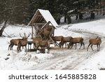 Majestic A Herd Of  Red Deers ...