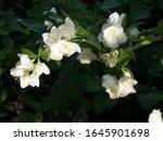 jasmine bloomed in the garden....   Shutterstock . vector #1645901698