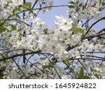 springtime. cherry blossoms in...   Shutterstock . vector #1645924822