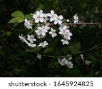 springtime. cherry blossoms in...   Shutterstock . vector #1645924825