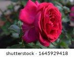 Beautiful Rose In Garden. Deep...