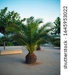 Canary Palm Tree  Scientific...