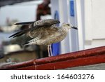 Seagull In Fishing Boat