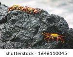 Sally Lightfoot Crab  Red Crab...