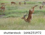 Small photo of The springbok is a medium-sized antelope found mainly in southern and southwestern Africa