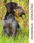 german wirehaired pointer holds a downed wildfowl (hen grouse) in its teeth during hunting