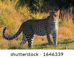 Leopard on the african grasslands - stock photo