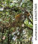 Fresh Complex Lichen  Usnea...