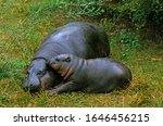 Pygmy Hippopotamus  Choeropsis...