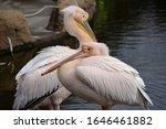 Great White Pelicans Preening...