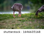 Geese Eating Grass By The Lake