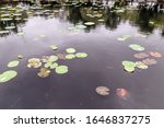 Chinese Lotus Water Lily Flower
