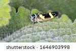 Brazilian Sharpshooters of the species Macugonalia leucomelas