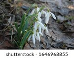 White Blooming Snowdrop Folded...