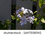 Pale Blue Plumbago Auriculata ...