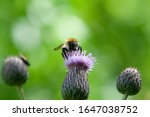 Shaggy Bumblebee Sits On A...