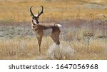 Pronghorn Antelope In Colorado...