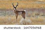 Pronghorn Antelope In Colorado...