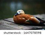 Beautiful Duck With Black Beak...
