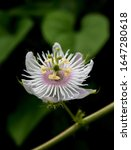 Small photo of Passiflora, known also as the passion flowers or passion vines, is a genus of about 550 species of flowering plants, the type genus of the family Passifloraceae.