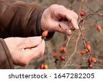 Rosehip Fruit  Male Hands And...