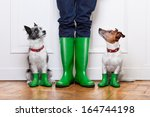 Stock photo two terrier dogs waiting to go walkies in the rain at the front door at home 164744198